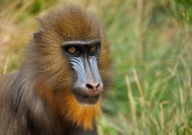 Mandrill monkey on green grass