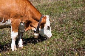 calf with a bell grazing on a meadow