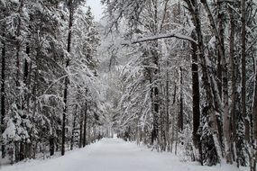 snow forest road in winter