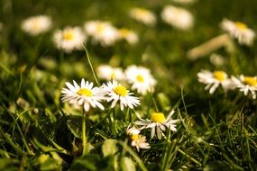 daisies on a spring meadow