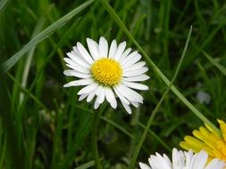 Closeup Picture of daisy flower in a meadow