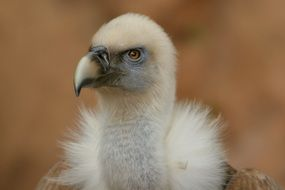 portrait of a black vulture