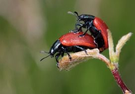 mating red beetles on a plant