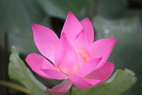 bright pink flower of the lotus close up