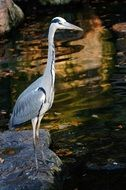 grey heron in wildlife