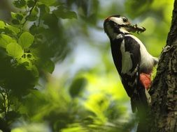 great spotted woodpecker eating worms on a tree
