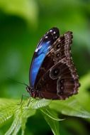 beautiful and delightful blue morpho butterfly