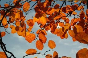 amelanchier leaves in autumn