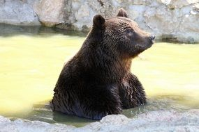 brown bear mammal