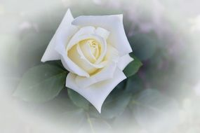 delicate white rose flower