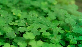 thickets of green shamrock