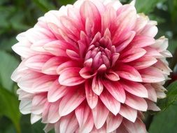 pink-white dahlia closeup