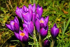 Purple crocuses on green grass