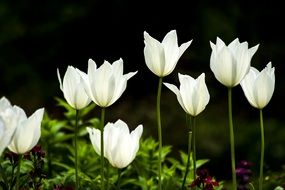 White tulip flower blooms