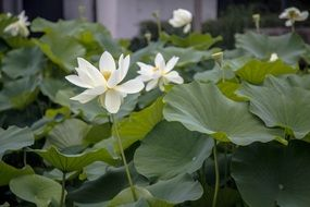 White lotus green leaves pond plant