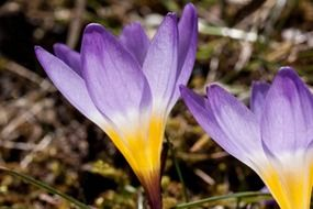 crocus wildform flower