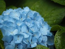 hydrangea plant in the early summer close-up