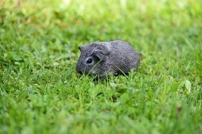 Grey cute guinea pig in green grass