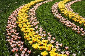 colorful tulips on garden bed