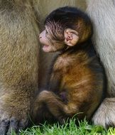 baby of barbary ape
