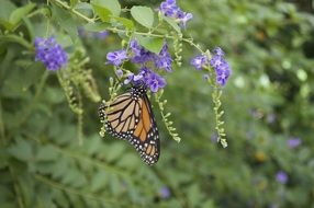 monarch butterfly with orange wings on purple flower