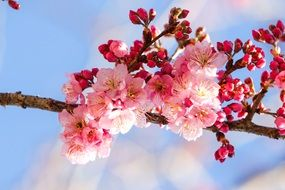 pink cherry blossoms on the tree branch
