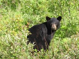 Picture of black bear in the wildlife