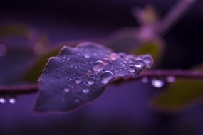 purple leaves in water drops close up