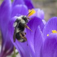 Bumblebee on a purple crocus