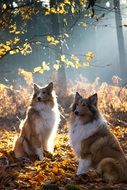 two collies in bright autumn forest