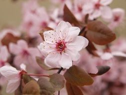 light pink flowering of a cherry
