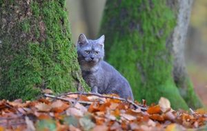 purebred cat among the foliage of the autumn forest