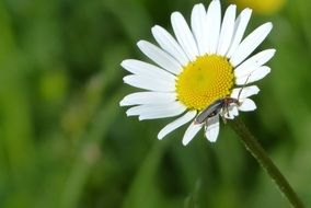 insect crawls on a white daisy