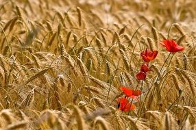 Red poppy on a dry wheat field