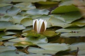 beautiful lily in the middle of the pond
