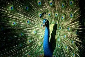 peacock colourful pretty
