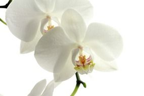 white orchid flower macro