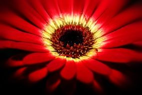 gerbera flower close up