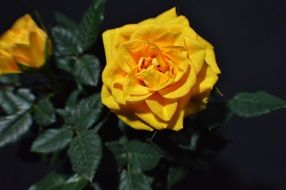 Yellow rose bloom macro photo