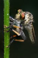 robber fly, macro