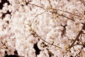 striking cherry blossom flowers