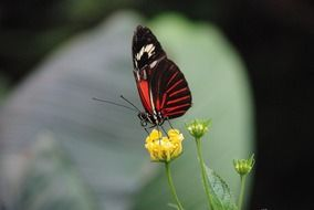 black and red butterfly on a yellow flower