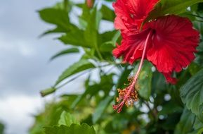 red hibiscus flower with green leaves