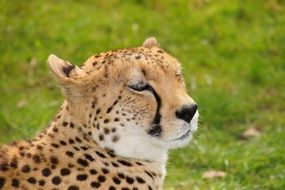 cheetah cat relaxing