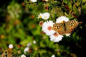 butterfly fritillary on a white daisy