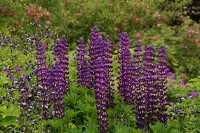 purple delphiniums in a garden bed