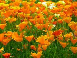 beautiful and delightful iceland poppy