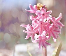 hyacinth flower plant flowers pink