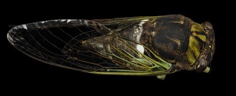 macro photo of a cicada on a black background