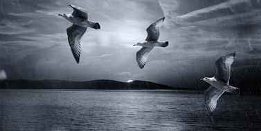 black and white photo of seagulls flying over the sea